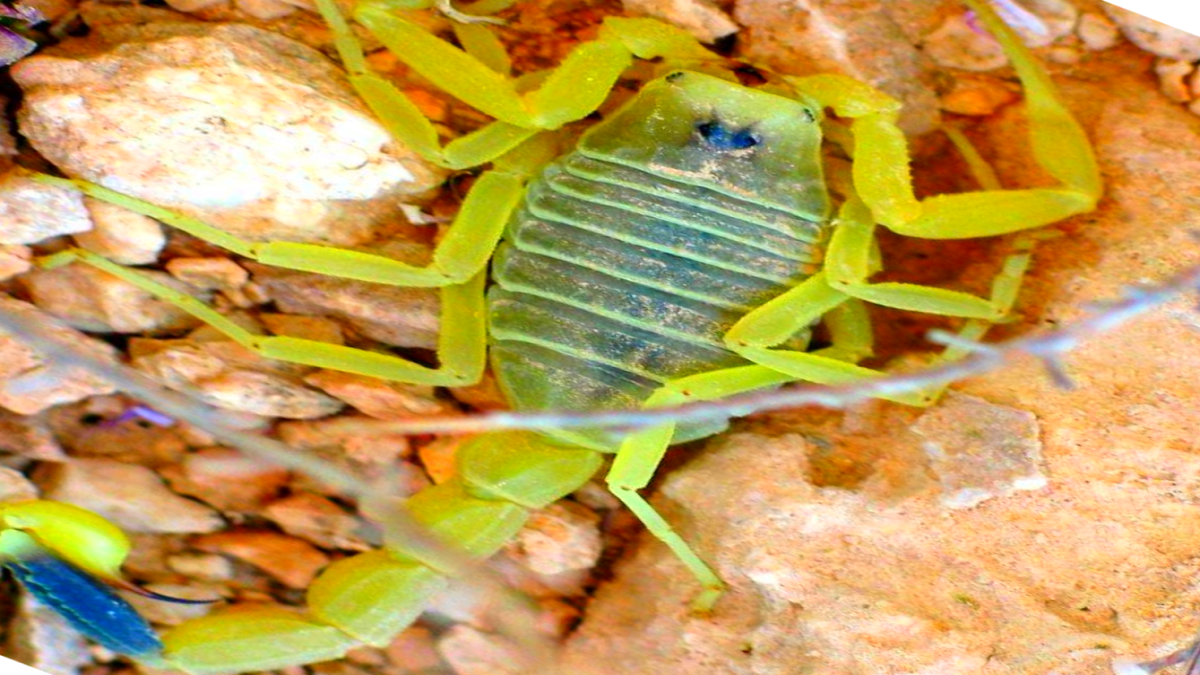 Самая дорогая в мире жидкость это яд скорпиона